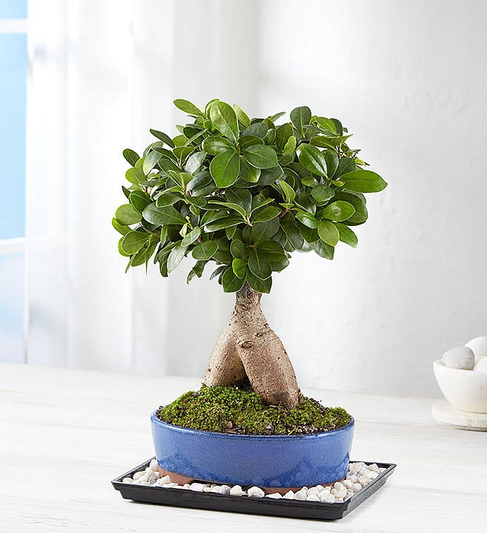Ginseng Grafted Ficus 1800flowers Com 157485