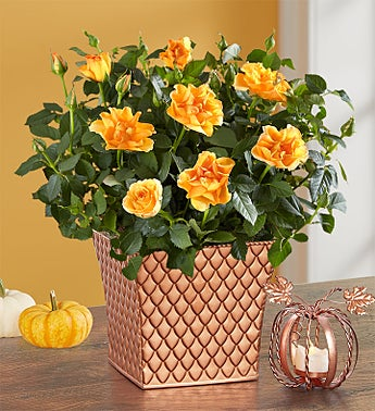 Autumn Essence Rose Plant