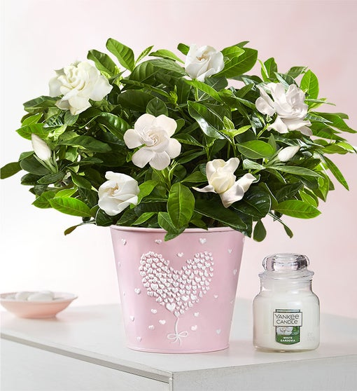 Love Is In The Air Gardenia ™