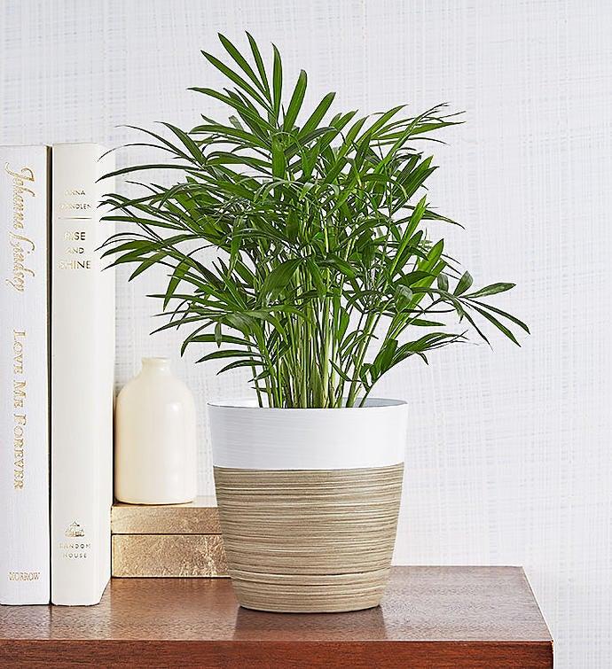 Parlor Palm Plant Neanthe Bella Palm