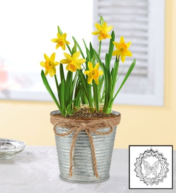 Cheerful Daffodil Bulbs  Free Suncatcher