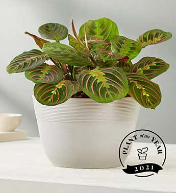 Red Maranta Prayer Plant