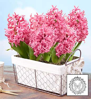 Heavenly Hyacinth Bulbs + Free Suncatcher