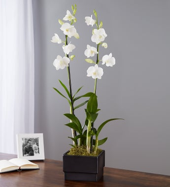 White Dendrobium Orchid Garden for Sympathy
