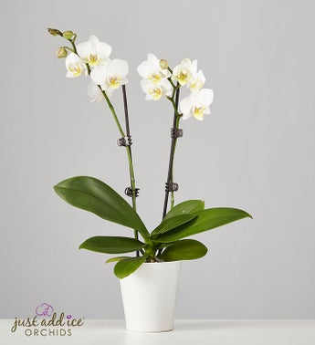 White Phaleonopsis Orchid for Sympathy