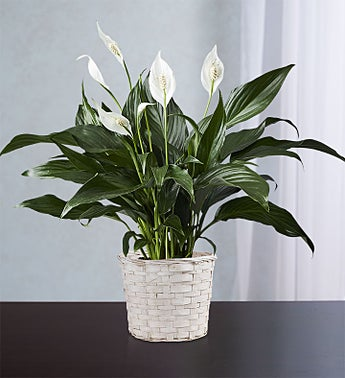 Calming Peace Lily Plant