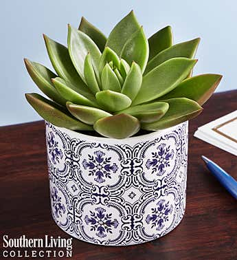 Echevaria Succulent by Southern Living®