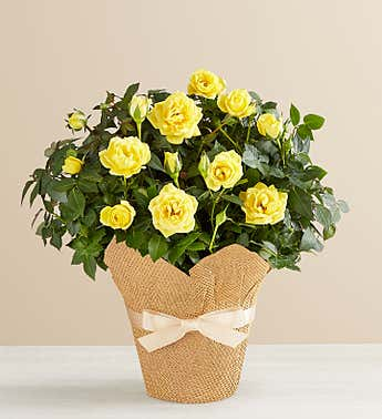 Yellow Rose in Natural Wrap