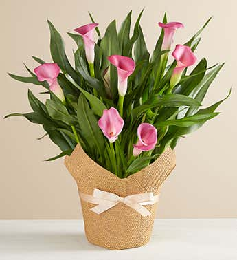 Pink Calla Lily in Natural Wrap