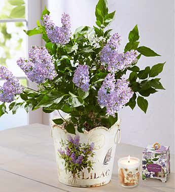 Miss Kim Korean Lilac Planter