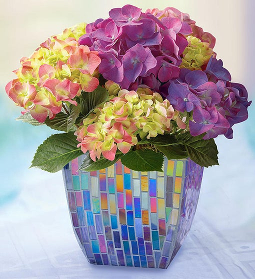Blooming Purple Hydrangea