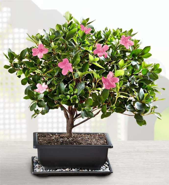 Azalea Bonsai 1800flowers Com 18201