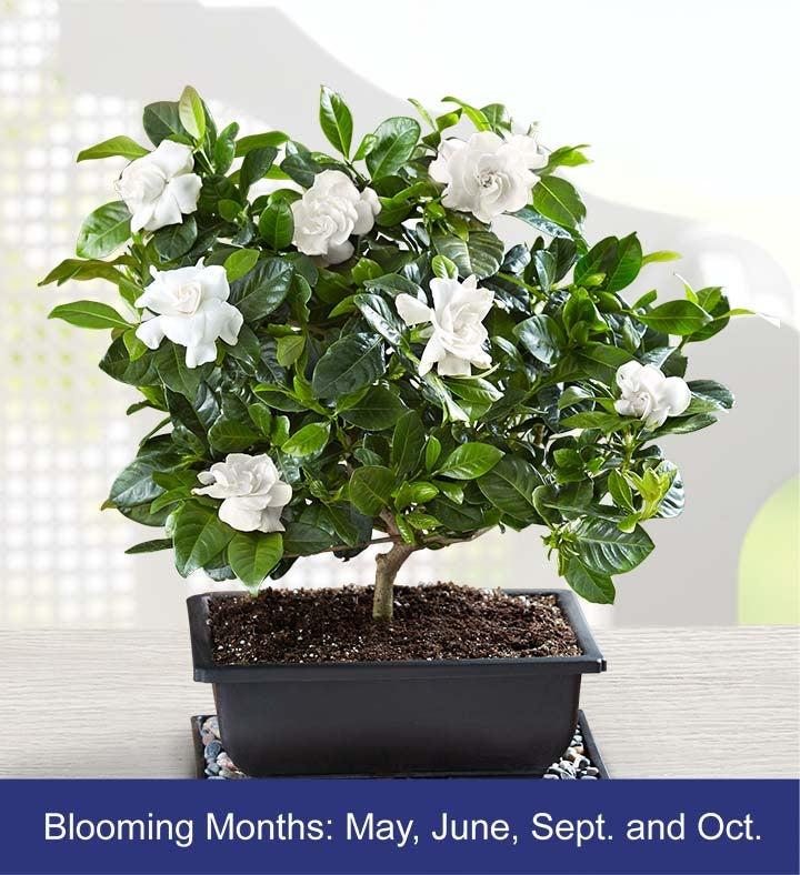 Gardenia Bonsai. 18202alt_view1