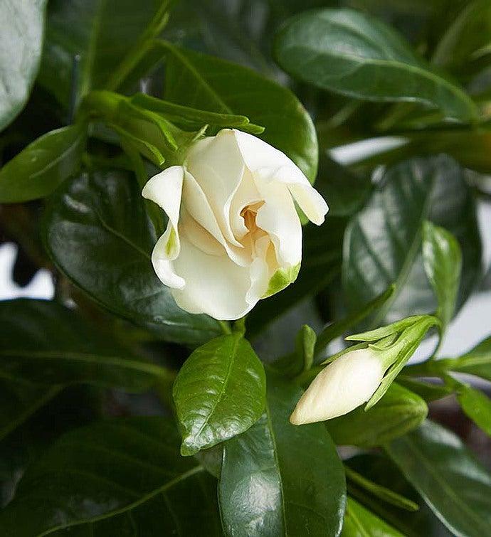 Gardenia Bonsai. 18202alt_view1. 18202alt_view2. 18202alt_view3