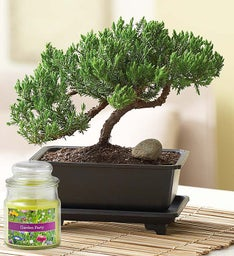 Juniper Bonsai + Free Candle