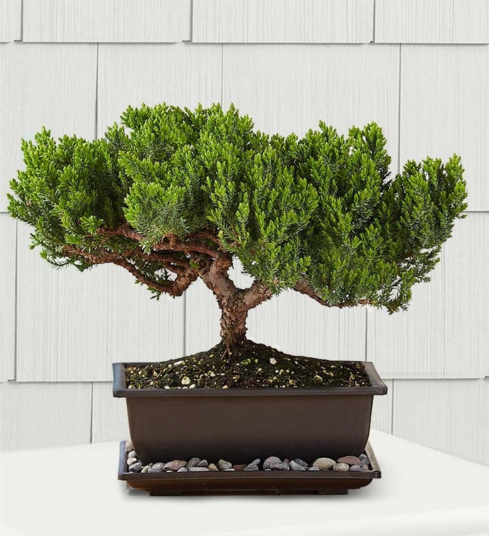 Juniper Bonsai 1800flowers Com 1822