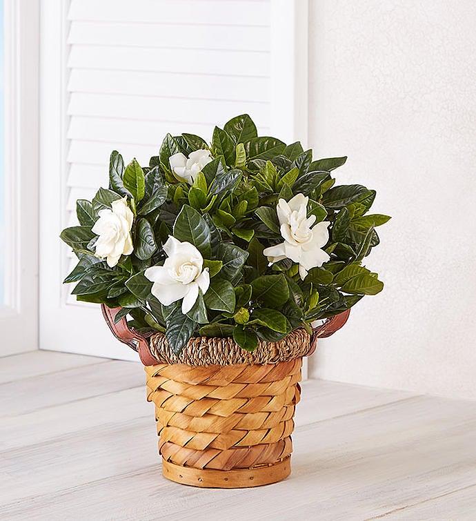 Blooming Gardenia Basket Small