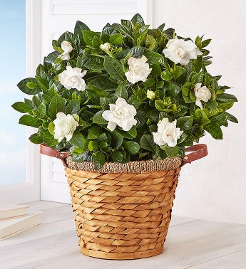 August - Blooming Gardenia Basket