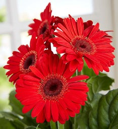 Hungry Caterpillar Gerbera Daisy