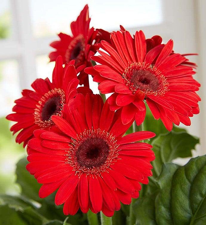 Lucky Ladybug Gerbera Daisy Plant