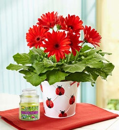 Lucky Gerbera Daisy + Free Candle