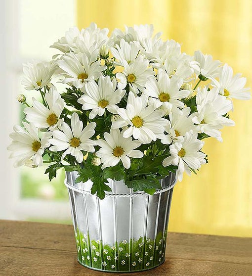 1800flowers Free Shipping >> Happy Daisy Plant   1800Flowers.com - 18648