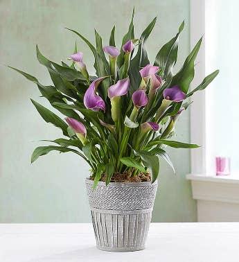 Calla Lily Bouquets   Calla Lily Delivery   1800Flowers