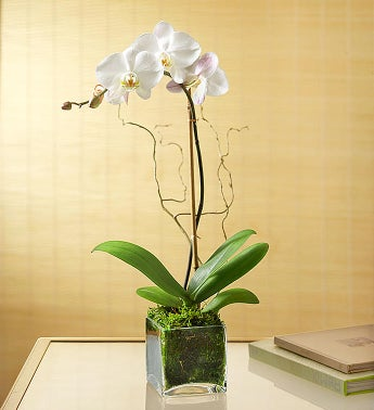 April - Elegant Orchid