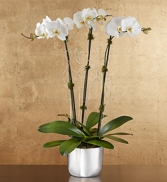 Silver Celebration Orchids