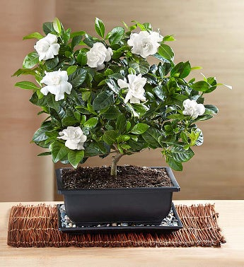 Exceptional Comforting Gardenia Bonsai
