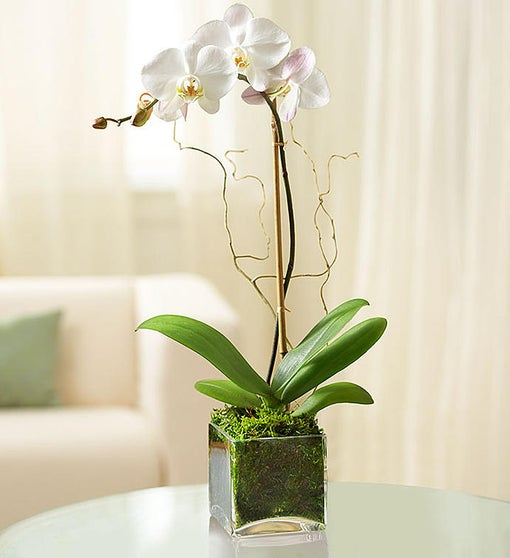 Elegant Orchid for Sympathy
