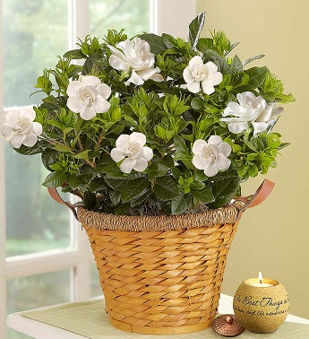 Cherished Gardenia Plant Large with Candle