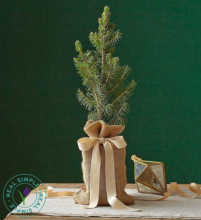 Real Simple® Colorado Spruce Small