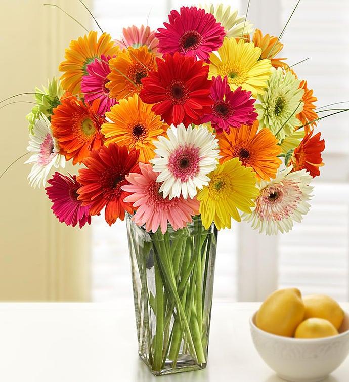 Happy Gerbera Daisies 12 24 Stems 1800flowers 90618