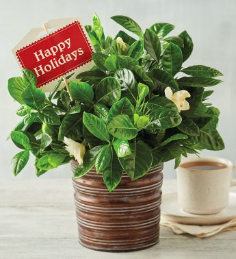 Happy Holidays Gardenia