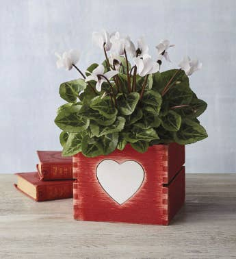 434 White Cyclamen in Heart Crate