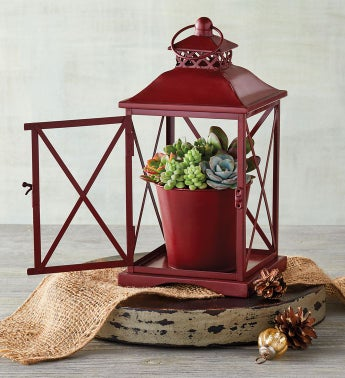 Christmas Succulents in Lantern